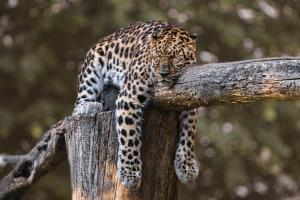Phosphatidylserine and Sleep - What's the Connection - Jaguar Sleeping on a Tree Branch